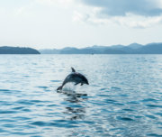 Dolphins - Bay of Islands